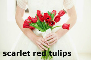 scarlet red tulips